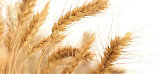 kaf van het koren
